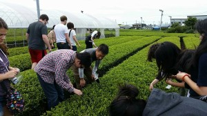 Picking green tea leaves