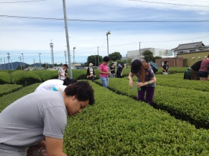 TUJ students picking their own green tea leaves