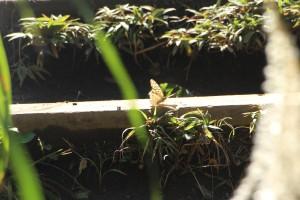 Mount Takao-Butterfly-Michael Kent-TUJ-FL15