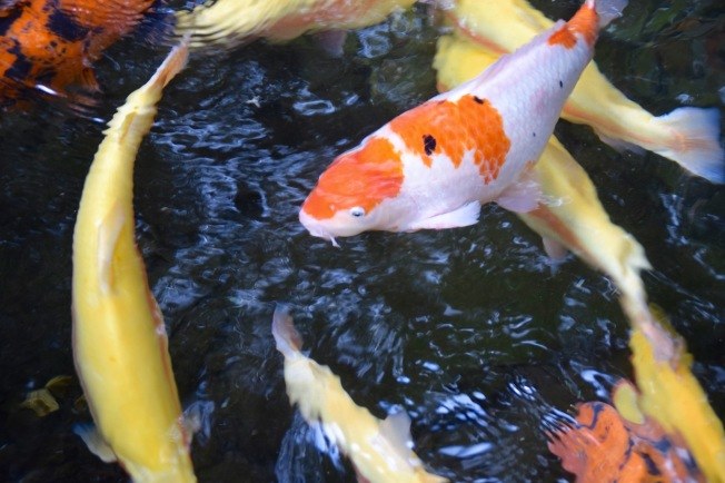 f161010_tokyo_koi-pond_tamlynkurata
