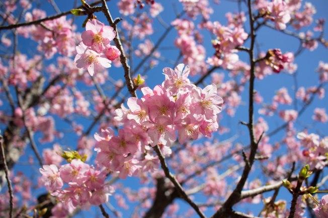 SP18807_Izu_Kawazu Cherry Blossoms_KaylaAmador